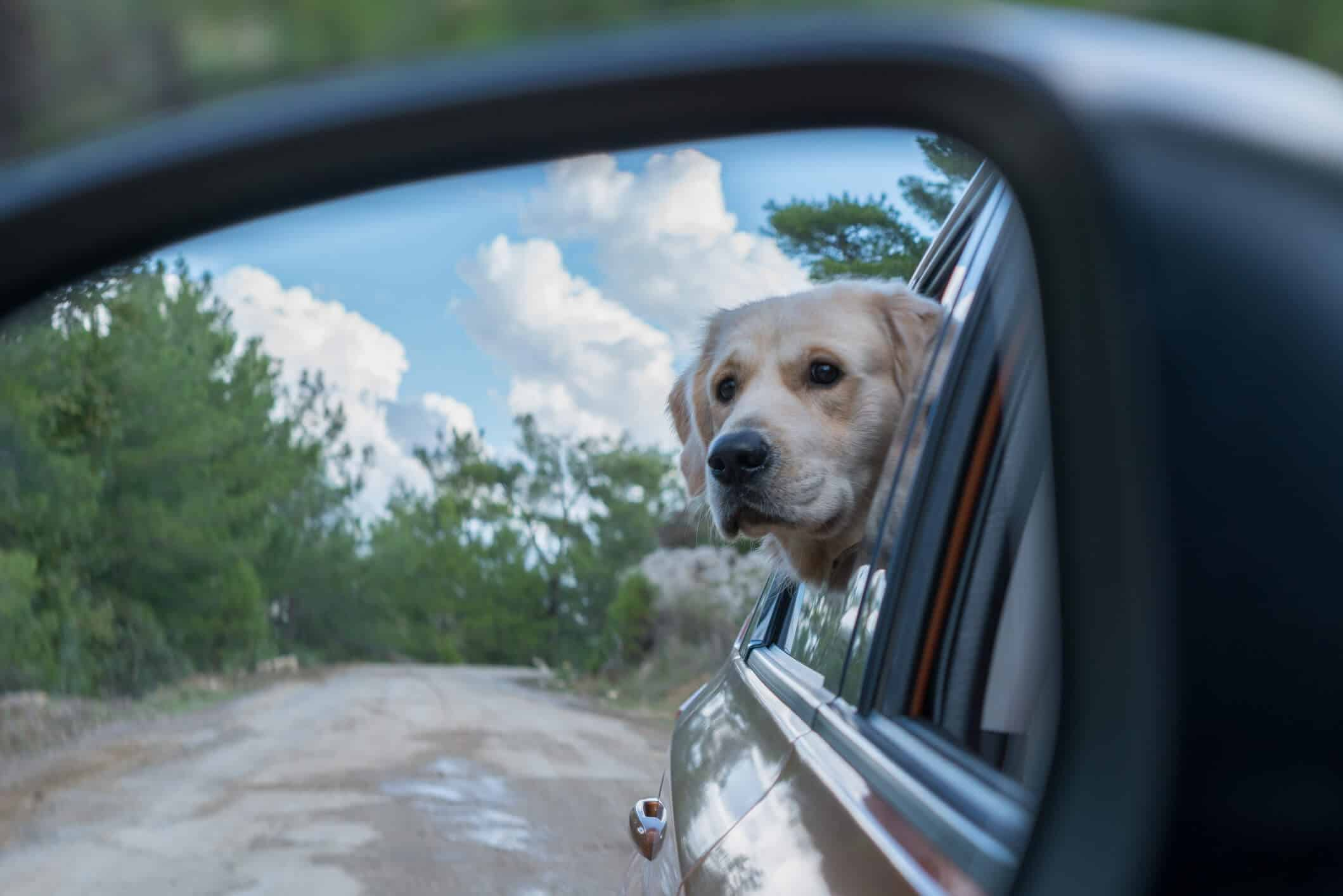 Golden Retriever in the Rear View Mirror